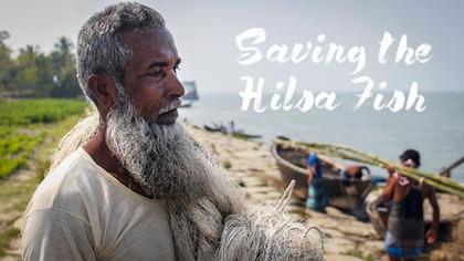 Saving the Hilsa Fish - the story of Bangladesh