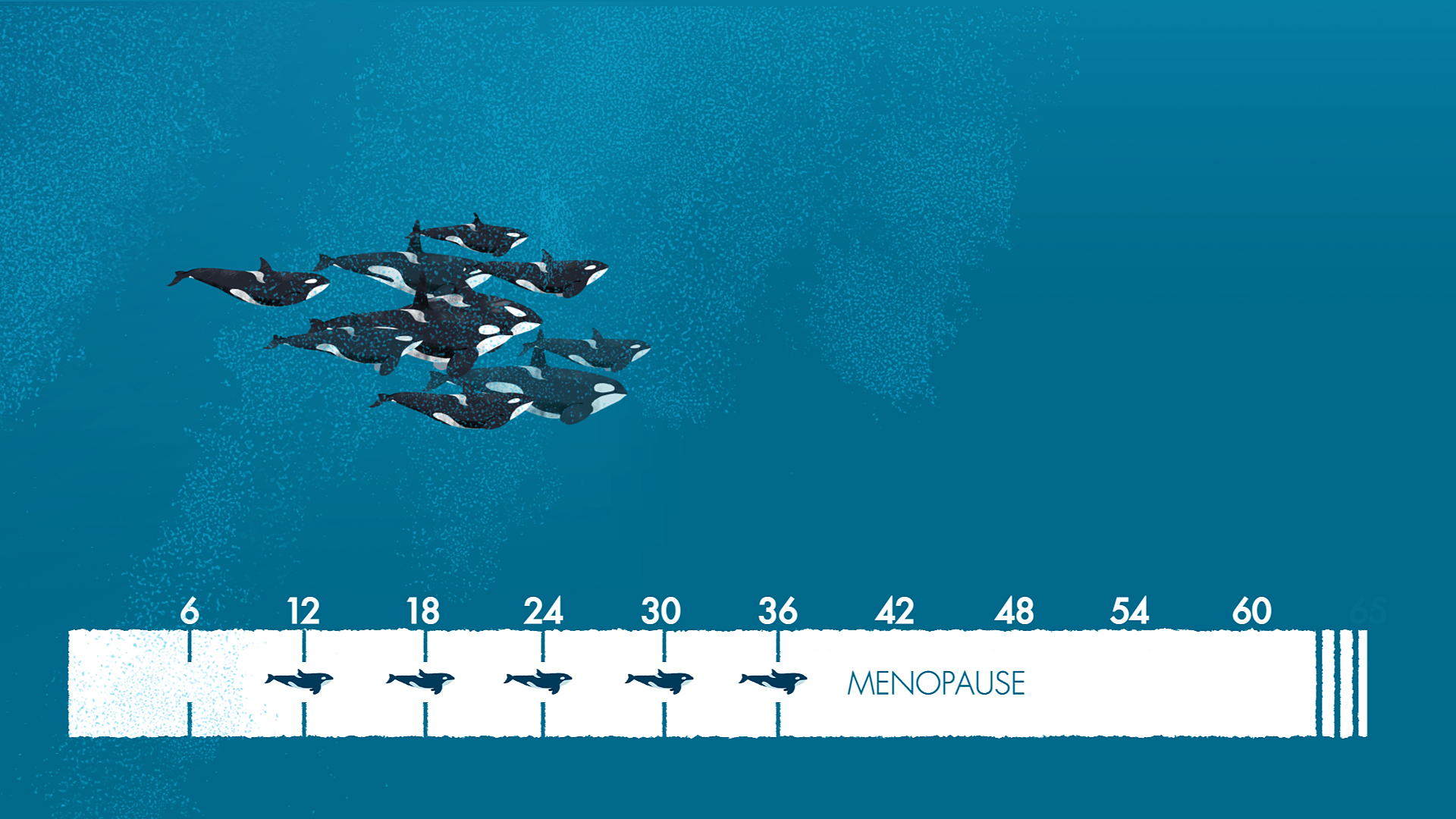 Life cycle of a killer whale pod