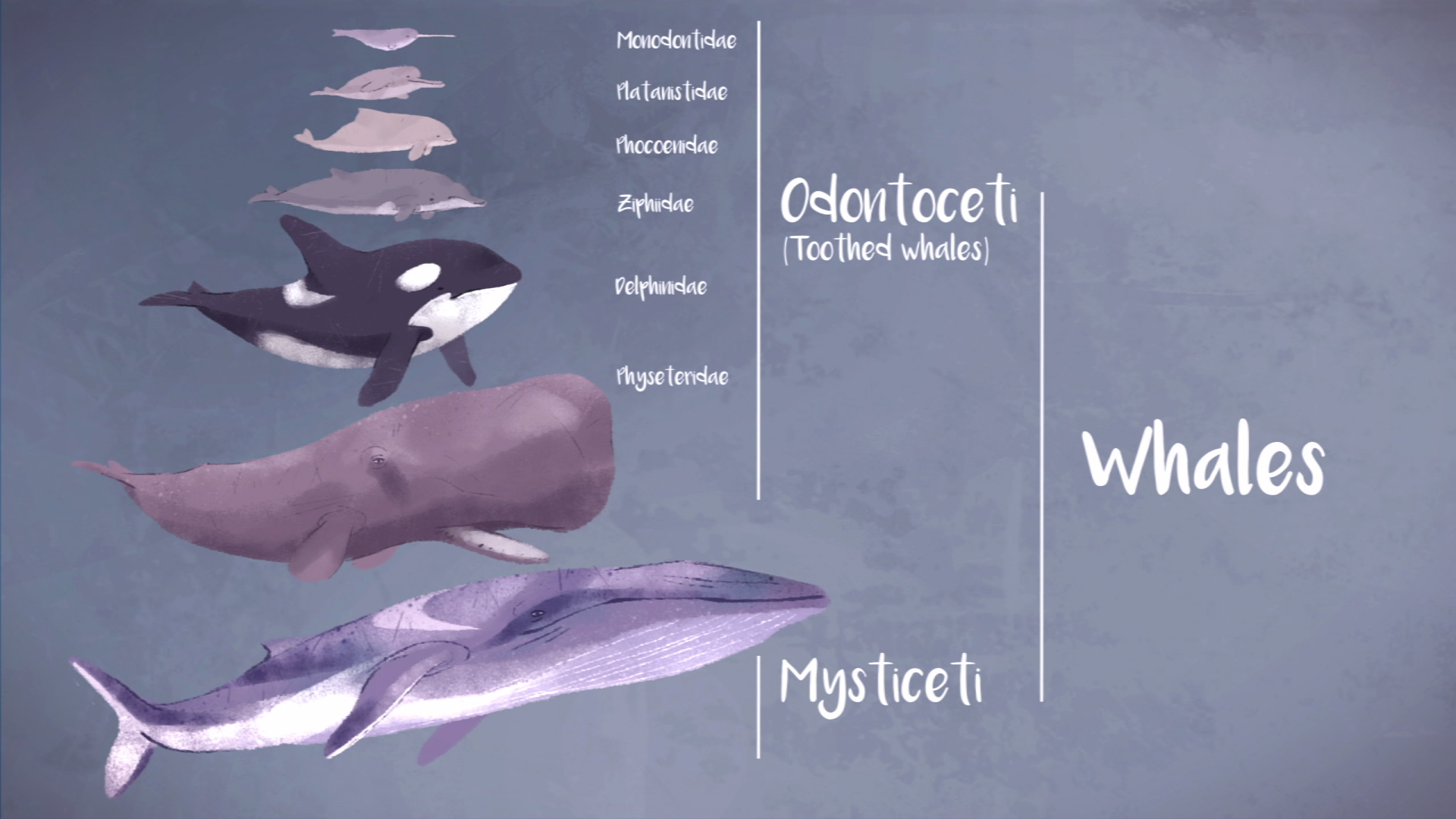 Odontoceti(toothed whales)/Mysticeti
