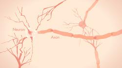 The brain, a vast neuron network