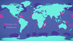 Whales : breeding & feeding grounds
