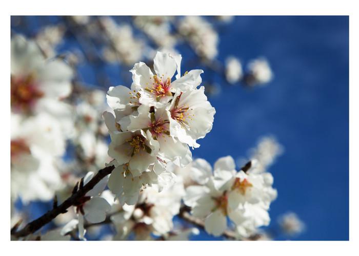 Mandelblüte.jpg