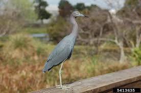 blue heron 6.jpg