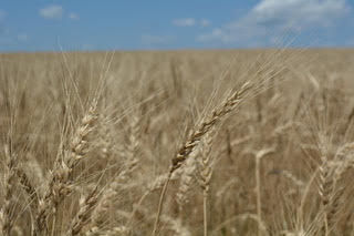 Monier Wheat Field.jpg