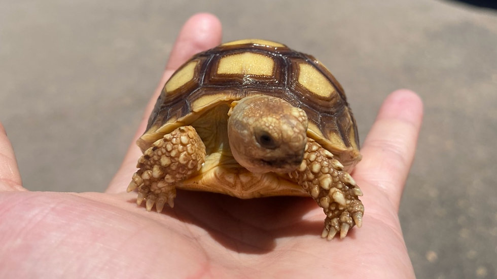 Sulcata Tortoise Hatchlings (click to view)