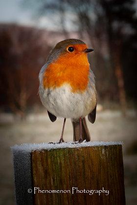 Robin of Ben Nevis