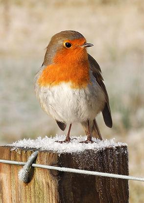 Robin of Ben Nevis.jpg