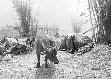 Vietnam cattle.jpg