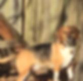 Donavan - beagle.png