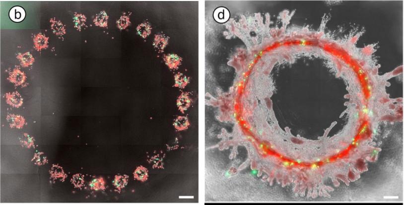 Bioimpressão organizada com distâncias de 300um