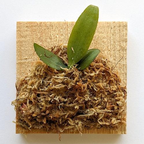Phalaenopsis Lindenii, Candy-stripes Flower, Wood Mount