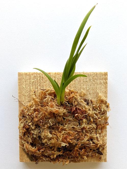 Cattleya Coccinea, Sophronitis coccinea, Wood Mount