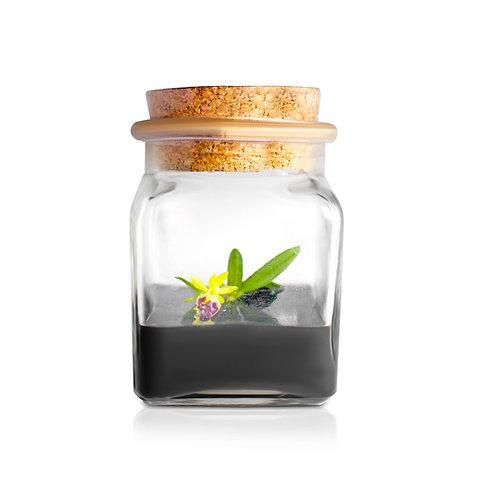 Miniature Orchid Terrarium  (Haraella retrocalla) 01