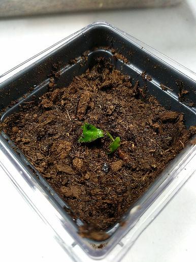 VenusFlytrap Transplant Step 6 Done burr