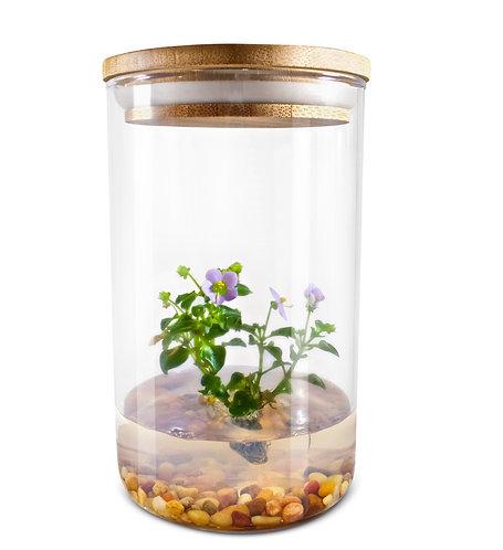 Persian Violet (Exacum Affine), rare flower terrarium, best gift