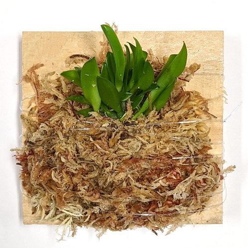 Bulbophyllum Pectenveneris (Golden Comb Orchid), Easy grower, Wood mount