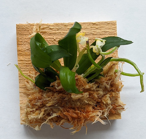 Gastrochilus Japonicus (The Yellow Pine Orchid), Bloom-ready Size