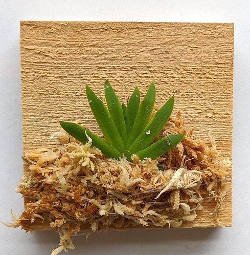 Psygmorchis Pusilla, miniature Oncidium orchid, wood mount