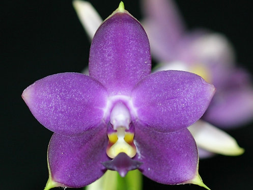 Phalaenopsis Violacea Coerulea 'Indigo', Rare Blue Flower