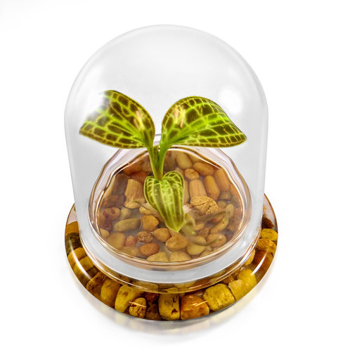 Jewel Orchid (Macodes Sanderiana) Terrarium, Great Unique Gift, 100% Growth