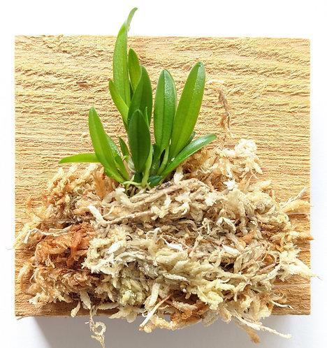 Bulbophyllum Electrinum VAR Calvum, miniature orchid, wood mount