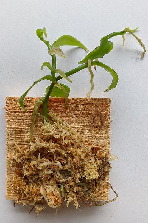 Vanilla Planifolia, miniature Vanllia orchid, wood mount