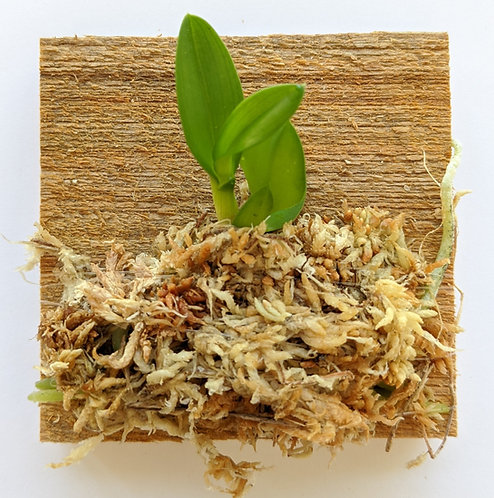 Cattleya Cernua (The Nodding Sophronitis), wood mounted