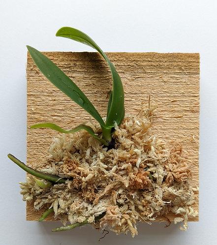 Sedirea Japonica (Nagoran), miniature Aerides orchid, wood mount