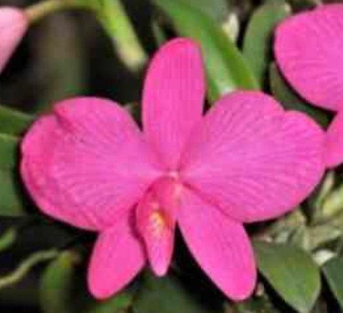 Sophronitis Wittigiana, Wittig's Sophronitis, Pink Flower Orchid