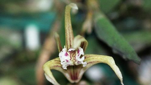 Dendrobium Cucumerinum, Cucumber orchid, Tiny-pickle-leaves