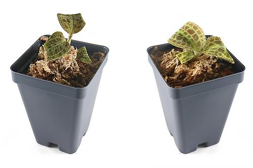Macodes Petola + Macodes Sanderiana, Jewel Orchid Bundle, Save 6$