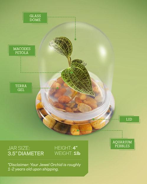 Jewel Orchid (Macodes Petola) Terrarium, Great Unique Gift, 100% Growth