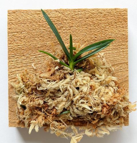 Neofinetia Falcata (Hisui), miniature Vanda orchid, wood mount, seedling