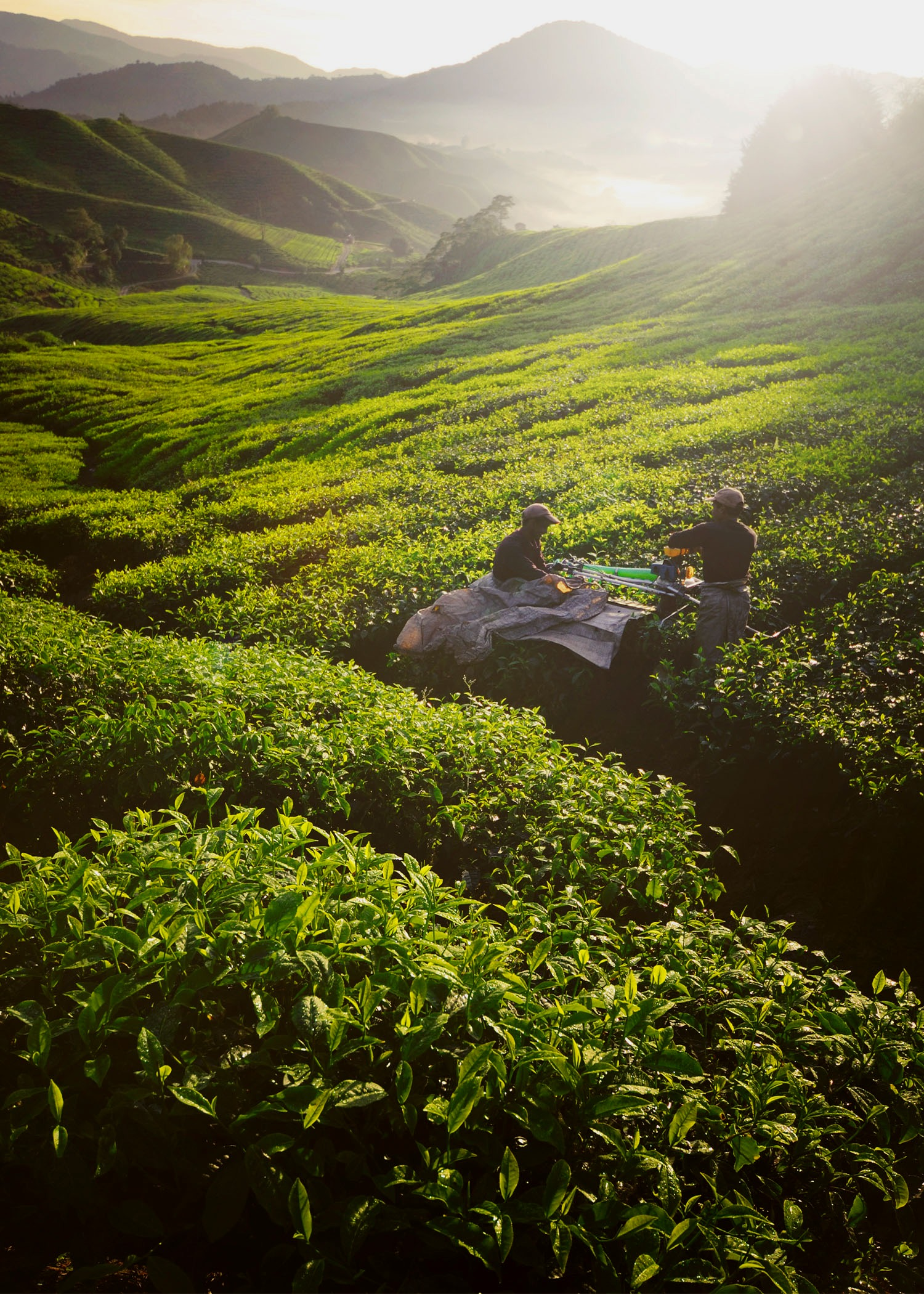 Tea Pickers_edited.jpg