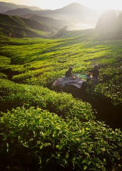 Tea Pickers_edited.jpg