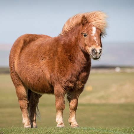 Thelwell was right! .....Fat ponies are naughtier than slim ones! Learn More...