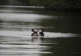 hippopotame sette cama.png