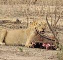 SAFARI LION BENIN.jpg