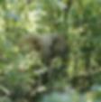 ELEPHANT_DES_FORËT.png