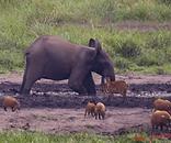 ELEPHANTS ET COCHON BAI LANGOUE.png