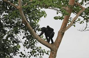 maman gorille.png