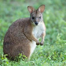 Parma Wallaby