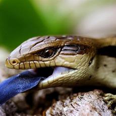 Eastern Blue-tongue Lizard