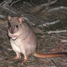 Brush-tailed Bettong