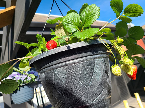 Hanging Potted Strawberries