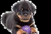 щенок ротвейлера.png