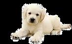 щенок лабрадора.png
