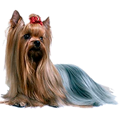 yorkshire-terrier_1762ae26ccc14c0f5bede5