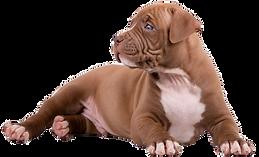 щенок питбуля.png