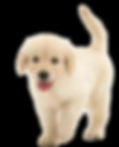 щенок голдена.png